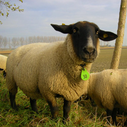 Suffolk sheep