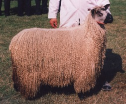 Sheep Breeds Adelaide Walker