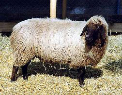Bergschaf sheep