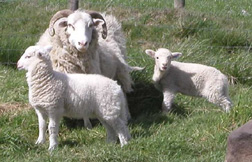 Whitefaced Woodland sheep