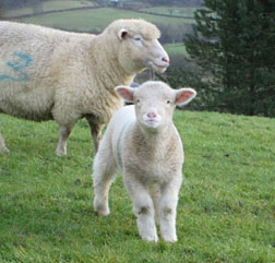 Dorset Horn sheep and lamb